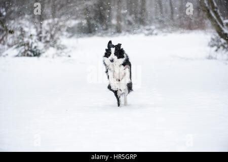 Border Collie in the snow. - Stock Photo