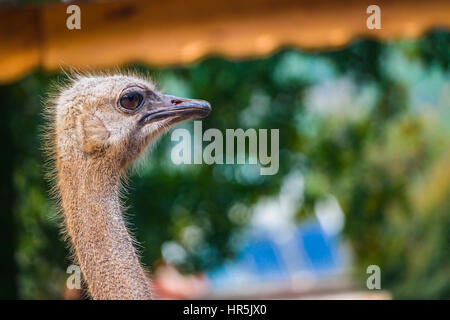 ostrich close-up shot. deve kusu yakın plan - Stock Photo