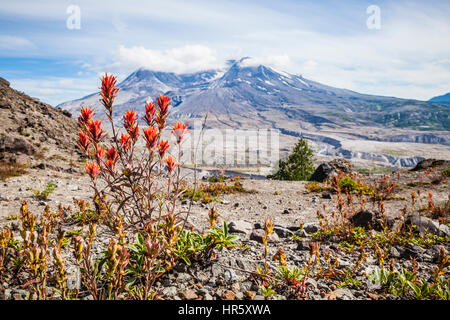 Wildflowers and Mount St. Helens in Mount St. Helens National Volcanic Monument, Washington, USA. Stock Photo