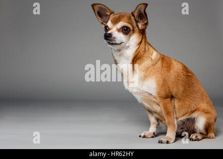 Portrait of a awn-colored chihuahua sitting on neutral studio background, looking off-camera. - Stock Photo