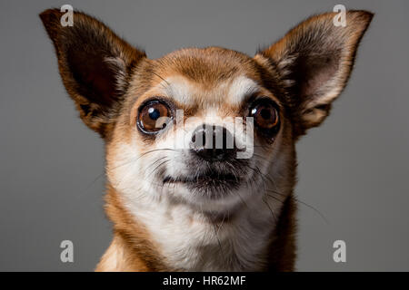 Close-up portrait of fawn-colored chihuahua looking directly at camera with a happy expression. - Stock Photo