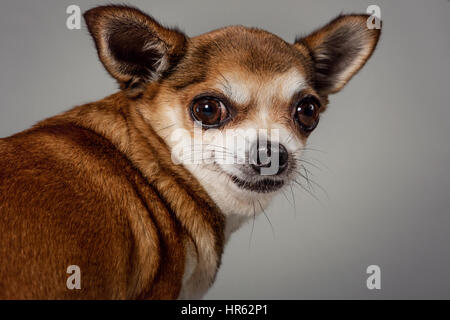 Studio portrait of a fawn-colored chihuahua looking over its shoulder with a half-smile. - Stock Photo