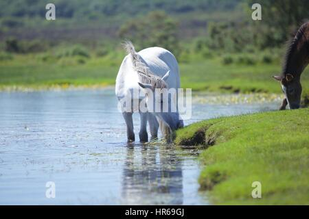 White horse in the New Forest taking a paddle and a drink at a pond on a warm summer's day - Stock Photo