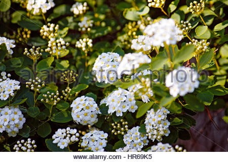 Lantana camara, also known as big sage, wild sage, red sage, white sage and tickberry is a species of flowering - Stock Photo