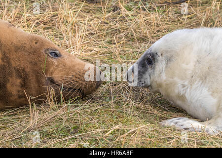 Grey Seal Pup and Cow on the beach at Donna Nook. Halichoerus grypus - Stock Photo
