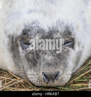 Grey Seal PupClose up of Head. Halichoerus grypus - Stock Photo