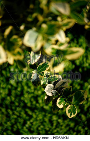 Spring flowers. Ivory Halo or Bailhalo has extremely stable white-edged mid-green leaves. - Stock Photo