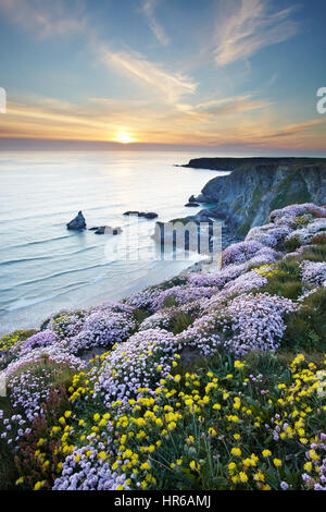 Spring Flowers, Thrift and kidney Vetch carpet the cliffs at Bedruthan Steps (Carnewas), near Morgan Porth on the - Stock Photo