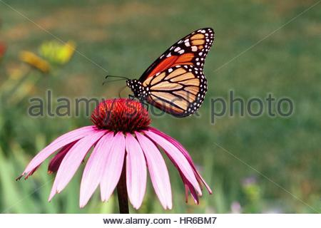 A Monarch Butterfly Collects Nectar From A Flower In The Peopleu0027s Garden,  Washington, D.C.