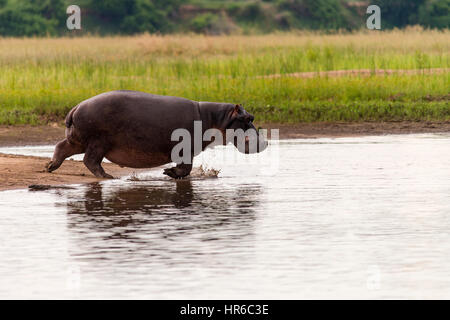 A Hippopotamus Hippopotamus amphibious seen in the water in Zimbabwe's Mana Pools National Park. - Stock Photo