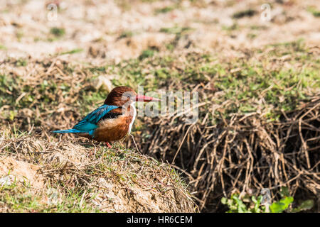 White-throated kingfisher sit on a field on watching for fishing - Stock Photo