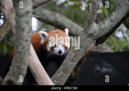 Himalayan Red Panda, (Ailurus fulgens),in a tree at Symbio Wildlife Park, Helensburgh,Sydney,New South Wales,Australia, - Stock Photo