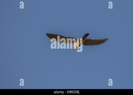 Common or European kestrel (Falco tinnunculus) hovering in flight looking for prey - Stock Photo