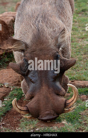 Warthog in the garden of Giraffe Manor, Nairobi, Kenya, East Africa - Stock Photo