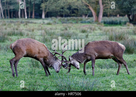 Red Deer (Cervus elaphus), stags fighting, Germany, Europe - Stock Photo