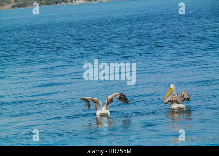 pelcan couple on peacefull sea. pelikan,pelikanlar - Stock Photo