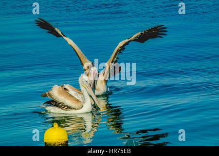 pelcan couple on peacefull sea. pelikan,pelikanlar. open wing guard pelican - Stock Photo