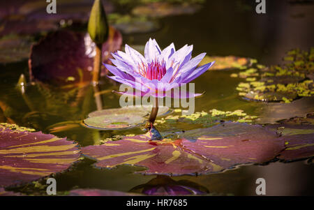 A beautiful water lilly growing in a pond. Color image. - Stock Photo