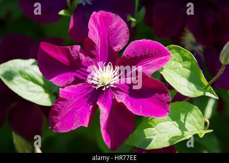 Clematis blossom. Dark purple clematis flower blooming in the garden in sunlight. - Stock Photo
