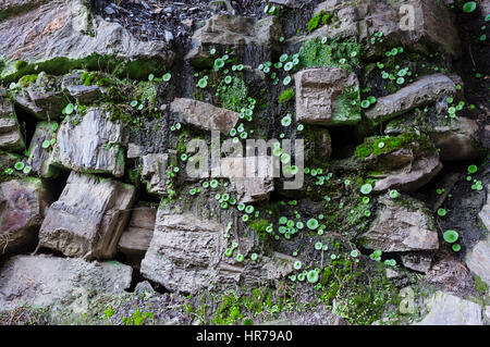 Umbilicus rupestris or Navelwort Venus' navel a fleshy, perennial, edible flowering plant in the stonecrop family - Stock Photo