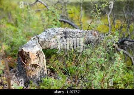 A beaver chewed tree has fallen down in Denali National Park in Alaska. - Stock Photo