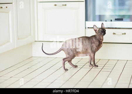Pregnant Sphynx cat standing on kitchen tile floor and looking away with unhappy expression - Stock Photo
