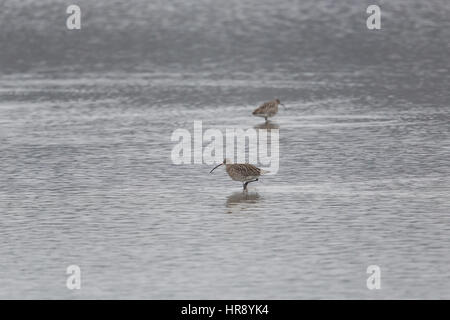 two natural western curlews (Numenius arquata) during foraging in a lake - Stock Photo