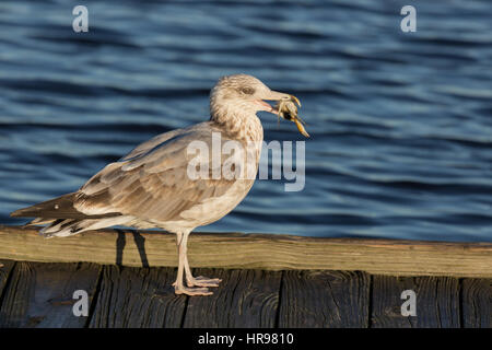 Herring Gull (Larus argentatus) with a crab in its mouth in Assateague Island National Seashore, MD, USA - Stock Photo