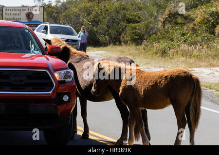 Assateague Pony (Equus caballus) attempting to get a handout from visitors to Assateague Island National Seashore - Stock Photo