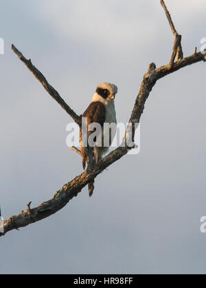 Laughing Falcon perched on a branch - Stock Photo