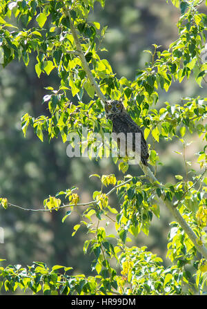 Great Horned Owl perched on a branch - Stock Photo