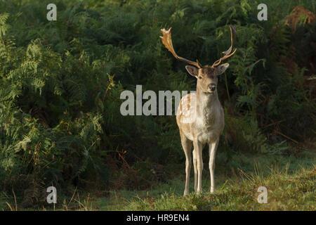 Fallow Deer (Dama dama) buck, stood by bracken, Bradgate Park, Leicestershire, England, October - Stock Photo