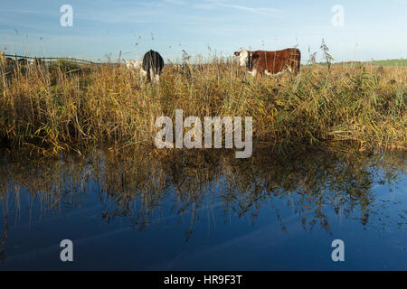 Cattle grazing on marshland, beside pool, on site of former opencast coal mine, St. Aidans RSPB Reserve, West Yorkshire, - Stock Photo