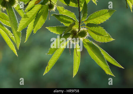 Sweet Chestnut (Castanea sativa) close-up of leaves and fruit, Bradgate Park, Leicester, England, October - Stock Photo
