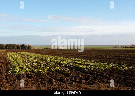 Remains of lettuce harvested in large field, Alderton, Suffolk, UK. - Stock Photo