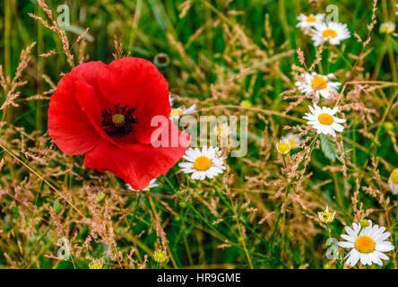 big red poppy among white daisy flowers on green grassy background - Stock Photo