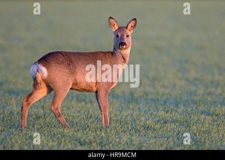 Female Roe Deer (Capreolus capreolus) in winter coat on a winter cereal field, Cambridgeshire, England - Stock Photo