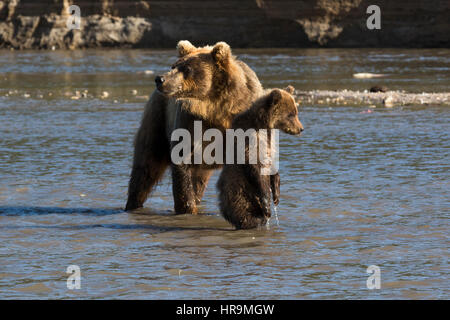Mother bear and small cub fishing on river in wildlife - Stock Photo