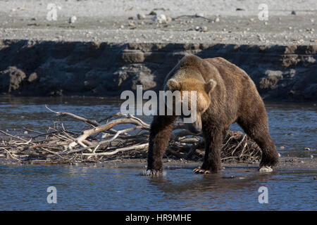 A wild brown bear is fishing in a lake in its habitat - Stock Photo