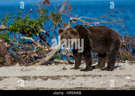 Brown bear catching fish in Kurile Lake of Southern Kamchatka Wildlife Refuge in Russia - Stock Photo