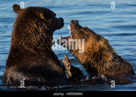 A pair of wild bears fighting in a lake in their natural habitat - Stock Photo