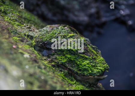 macro shooting alga on rock - Stock Photo