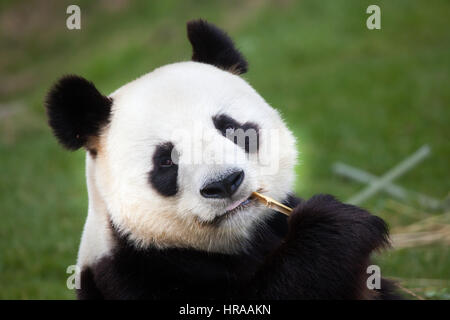 Giant panda (Ailuropoda melanoleuca) at Beauval Zoo in Saint-Aignan sur Cher, Loir-et-Cher, France. - Stock Photo