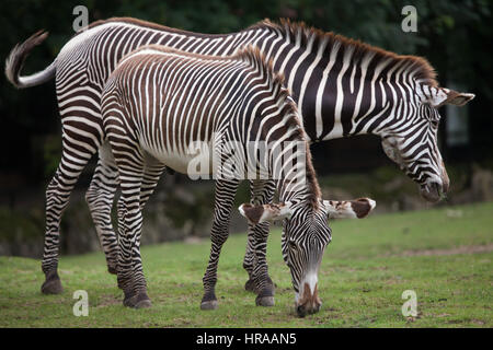 Grevy's zebra (Equus grevyi), also known as the imperial zebra. - Stock Photo