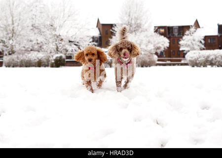 Poodles in the Snow, Walks in Strathaven - Stock Photo