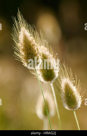 Closeup of wild grass seeds with bokeh - Stock Photo