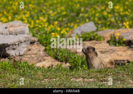 Hoary Marmot (Marmota caligata) on tundra in Glacier National Park, MT, USA - Stock Photo