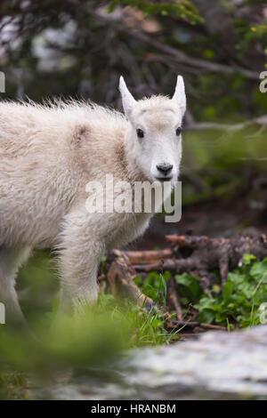 Mountain Goat (Oreamnos americanus) kid in Glacier National Park, MT, USA - Stock Photo