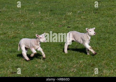 Burscough, Lancashire, UK. 1st Mar, 2017. UK Weather. New-born lambs in pasture on the 1st day of Spring. Dorset - Stock Photo