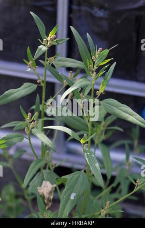 Fig-leaved goosefoot, Chenopodium ficifolium, flowering plant on waste ground, Berkshire, July - Stock Photo